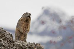 marmottes_2-7