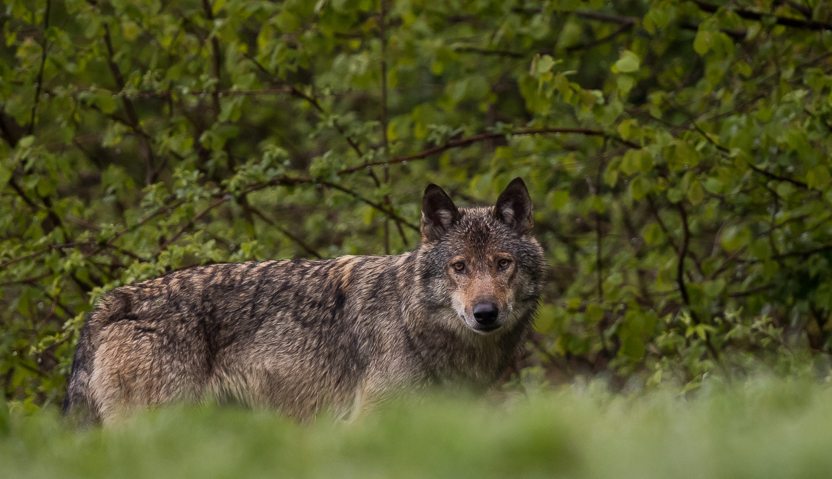 Loup retrav_-4.jpg