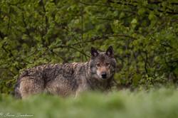 Loup retrav_-4