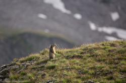 marmottes_2-8