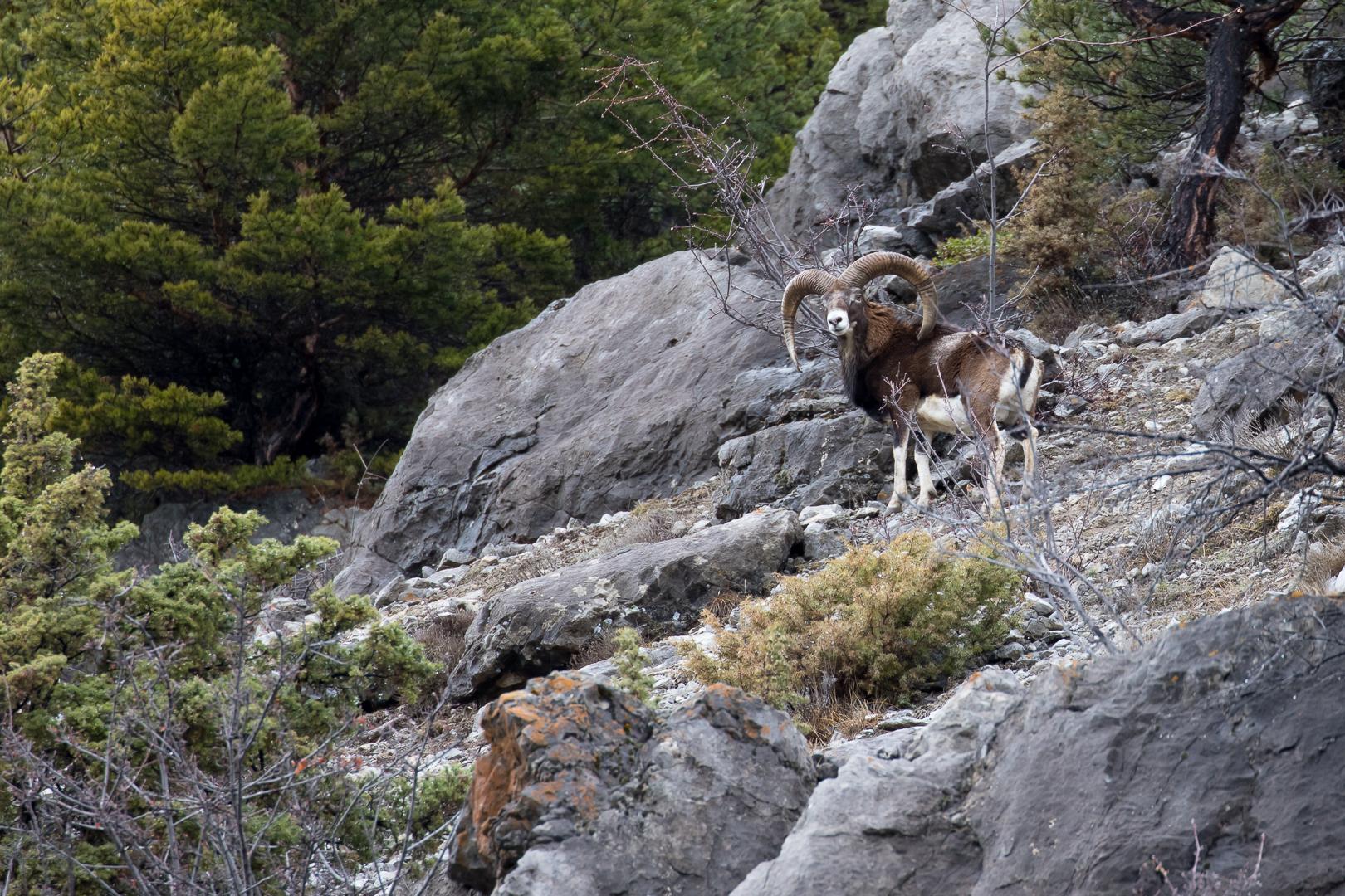 Mouflon à Eygliers