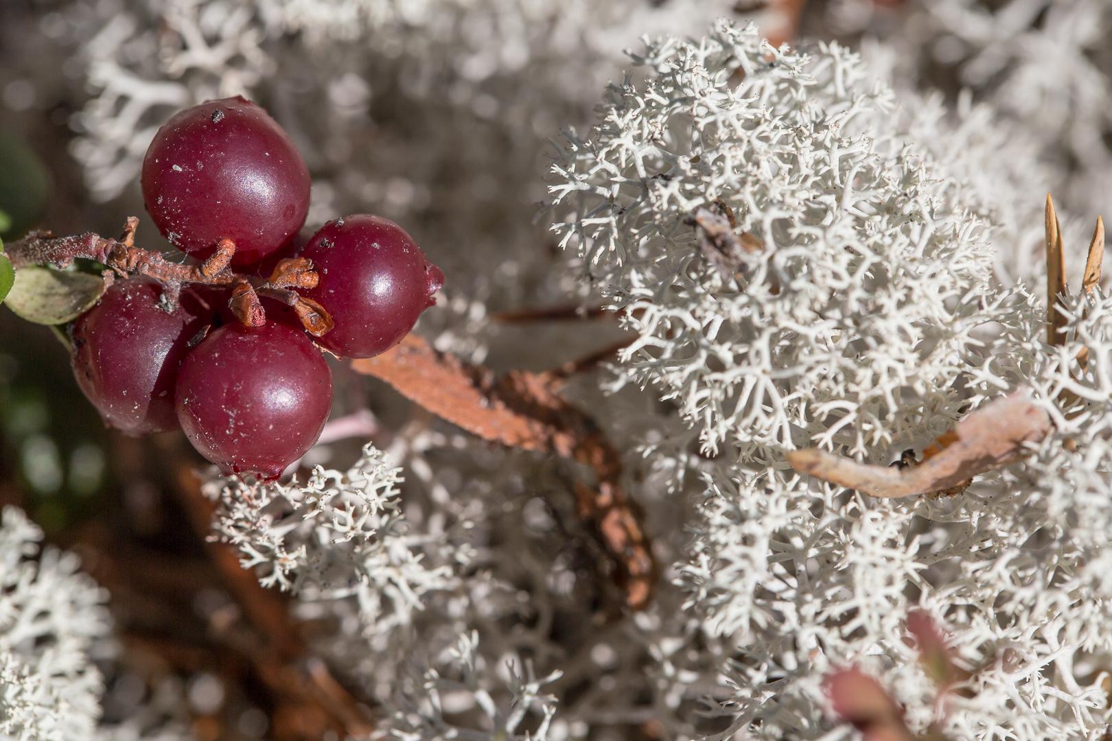 Airelle et lichen