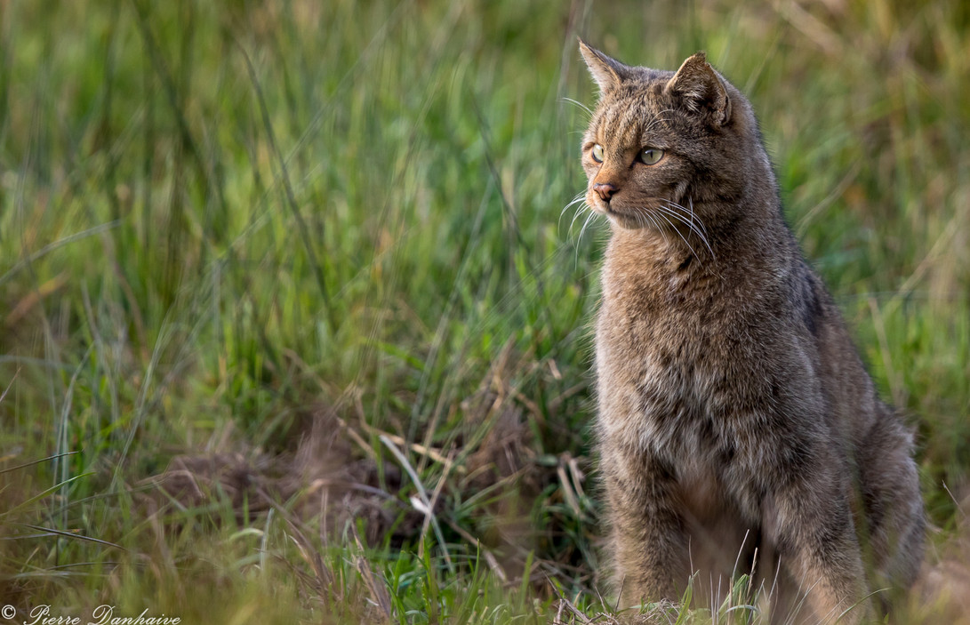 Chat forestier-4.jpg