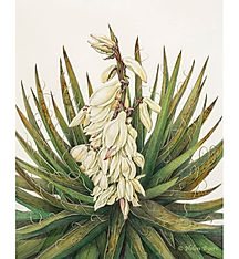 Byers_Yucca_baccata_72dpi_forWeb.jpg