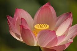 blieden-lotus-photo.jpg