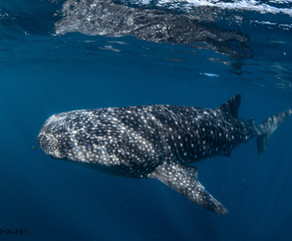 Whale Sharks! What it's like swimming with them