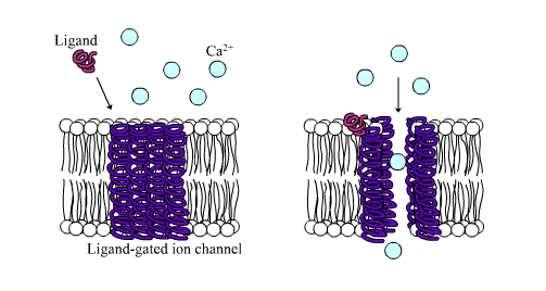 Ligand-gated-ion-channel.png