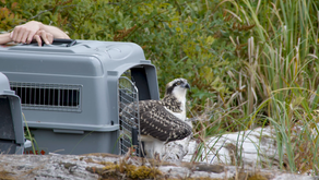 Releasing Raptors: The culmination of multiagency coordination and environmental stewardship