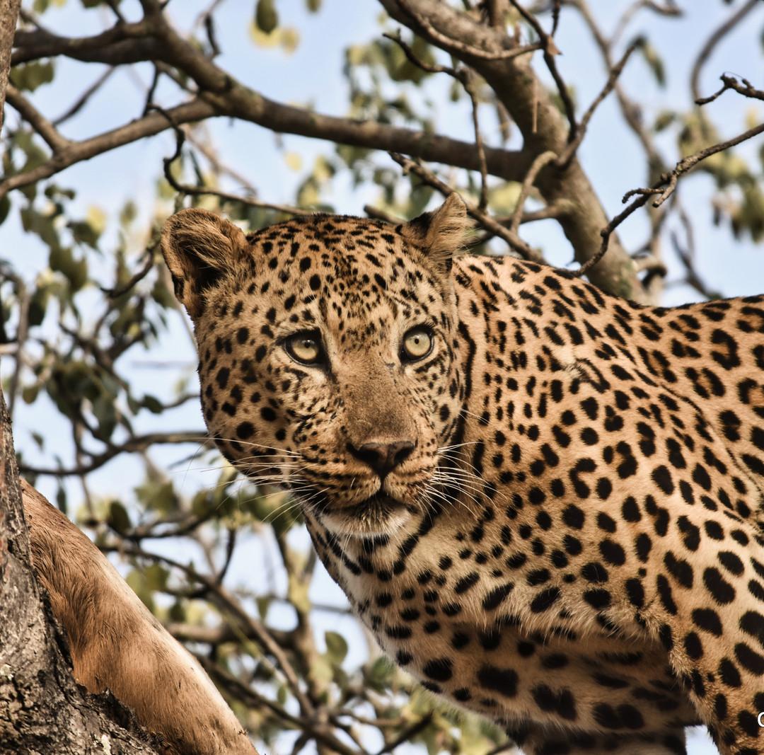 Leopard and Prey, Sabi Sands, South Africa