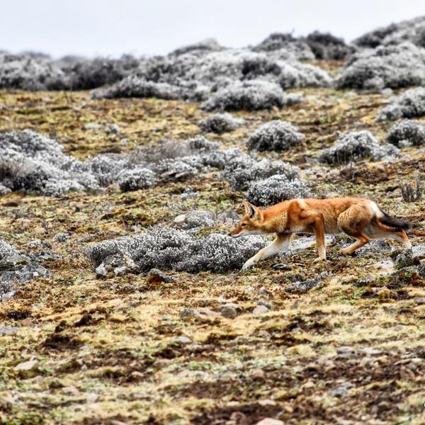 Ethiopian Wolf, Bale Mountains, Ethiopia