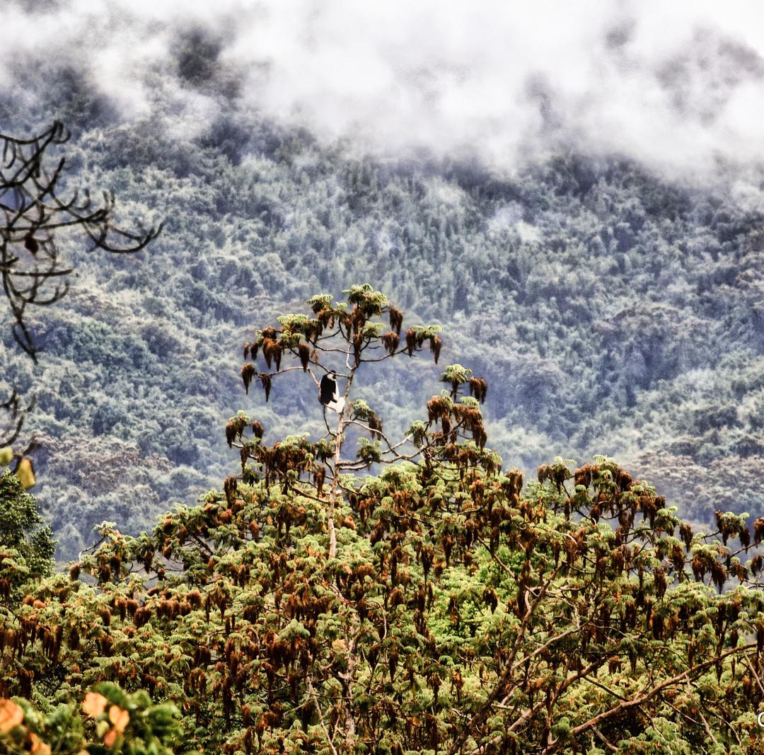Colobus Monkey, Bale Mountains, Ethiopia