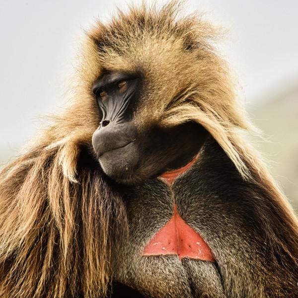 Gelada Monkey, Simien Mountains, Ethiopia