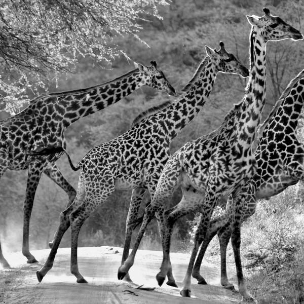 Elegance in motion, Lake Manyara, Tanzania
