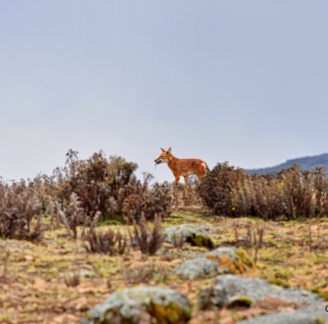 The game of Wolf and Mouse, Bale Mountains, Ethiopia