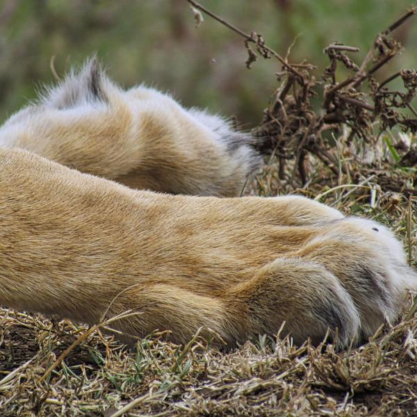 Lioness Paws, Ngorongoro Crater, Tanzania