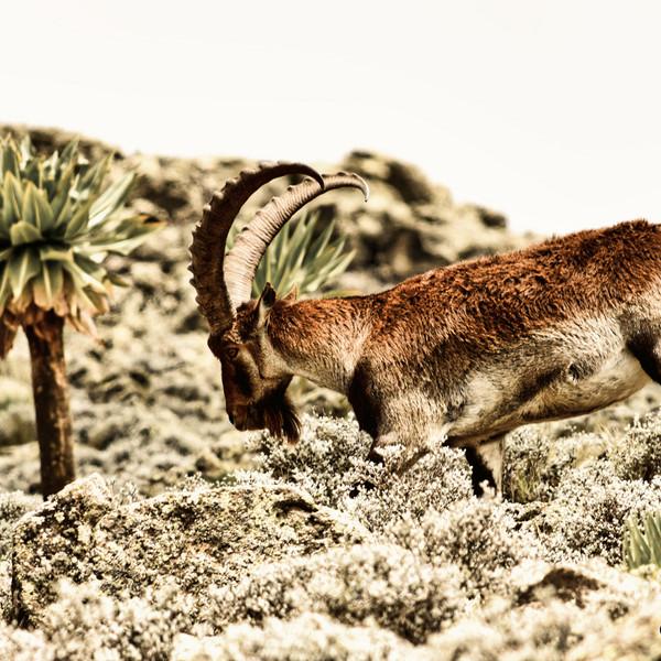 Walia Ibex, Simien Mountains, Ethiopia