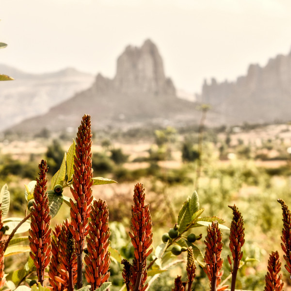 Red Hot Pokers, Gheralta, Northern Ethiopia