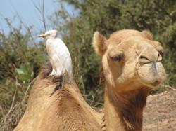 Koereiger op Dromedaris in Senegal