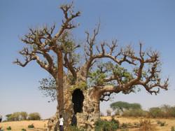 Boabab boom in Senegal
