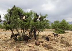 Geiten in de Arganbomen - Marokko