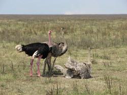 Struisvogels in Tanzania