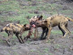 Wilde Honden in Botswana
