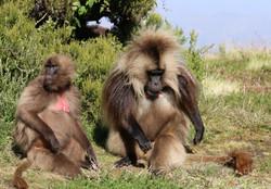 Gelada apen in het Simengebergte Ethiopi
