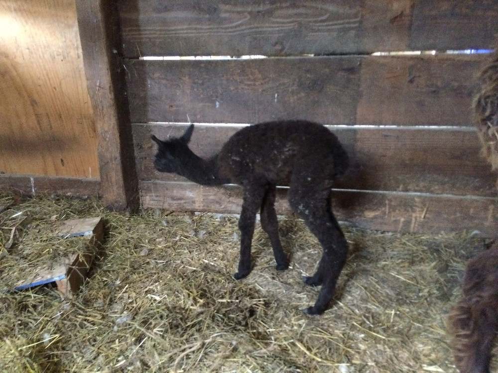 baby alpaca taking its first steps