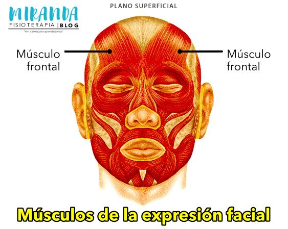 Músculo frontal - músculos de la expresión facial