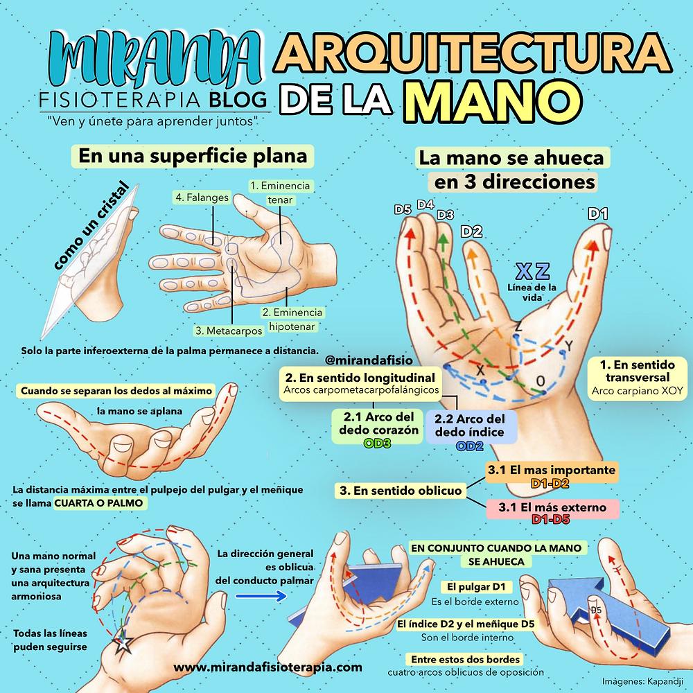 La mano se ahueca en 3 dirección: sentido transversal, longitudinal y oblicuo