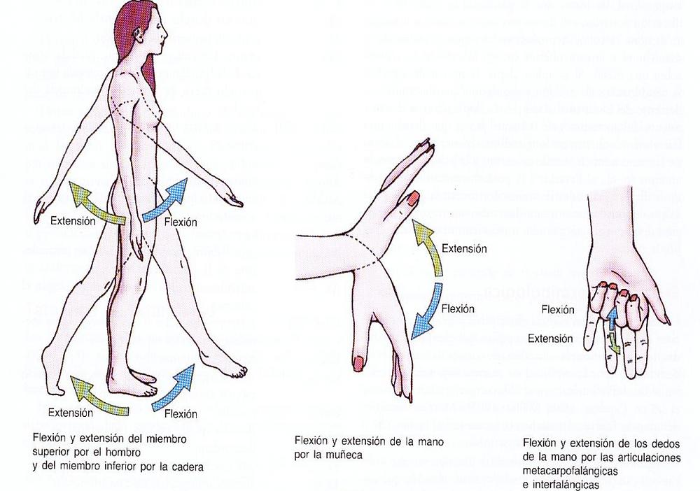 Flexión y extensión del hombro, muñeca, dedos - terminología anatómica