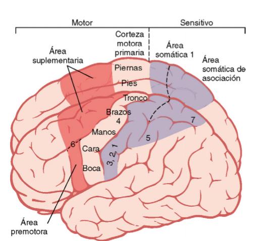 partes del cerebro: motor y senstitivo