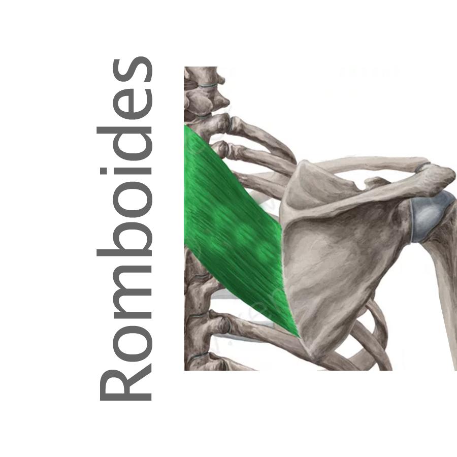 Músculos superficiales e intermedios del dorso - romboides