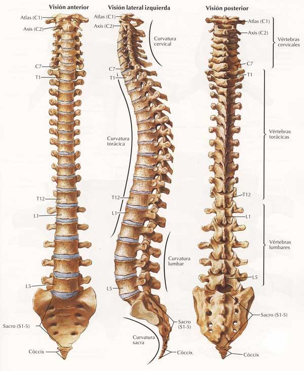 columna vertebral: vista anterior, posterior y lateral
