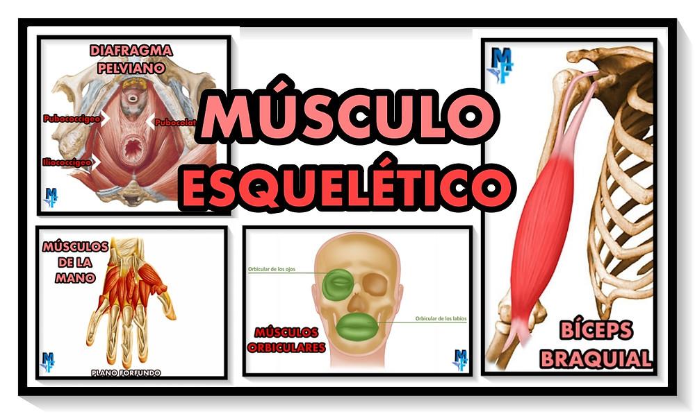 Músculo esquelético - miranda fisioterapia blog