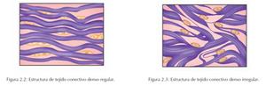 Estructura de tejido conectivo denso regular y estructura de tejido conectivo denso irregular
