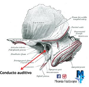 Huesos del cráneo: conducto auditivo