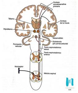 vías del dolor desde el nivel medular hasta los centros nerviosos superiores