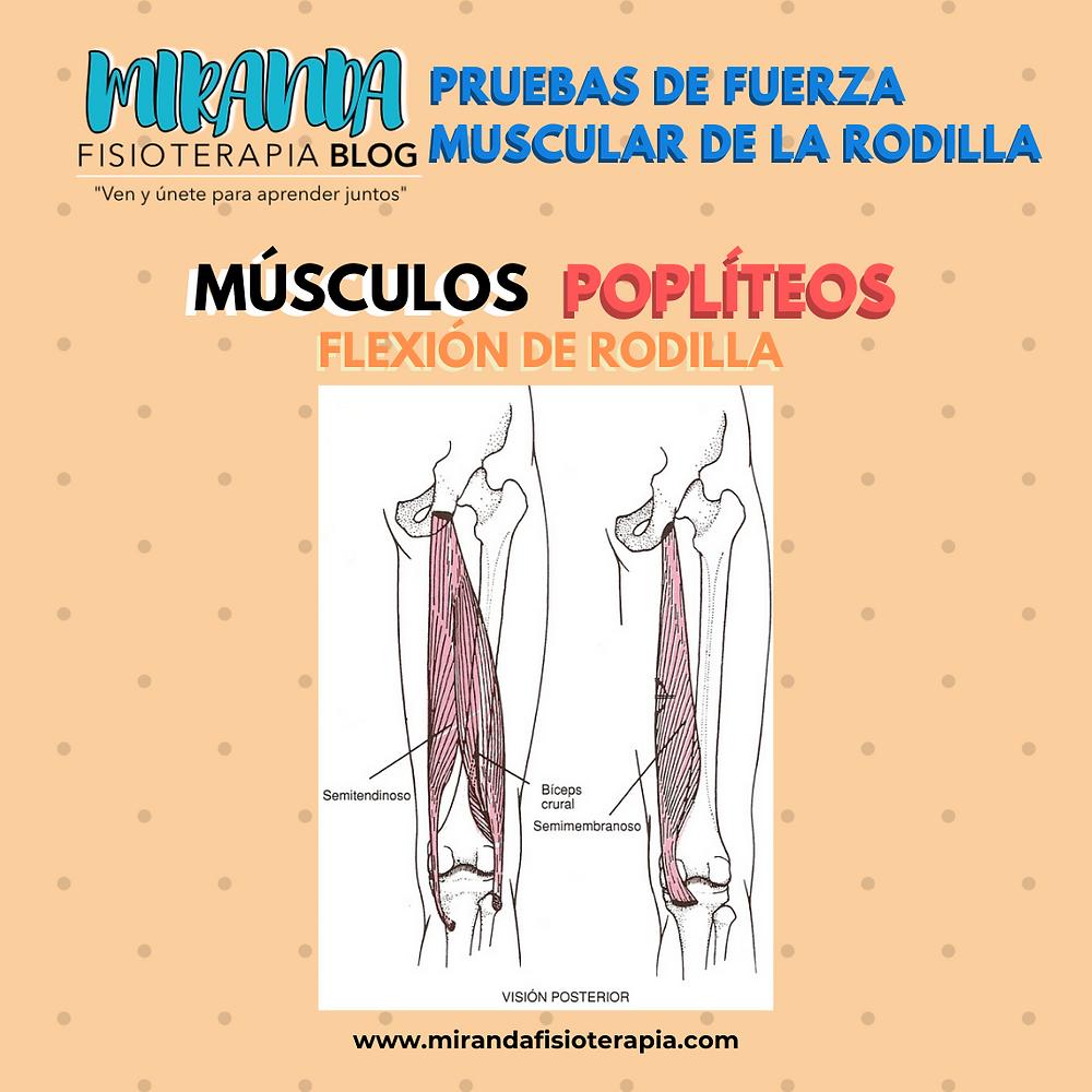 Pruebas de fuerza de la rodilla: Músculos poplíteos (flexor de rodilla)
