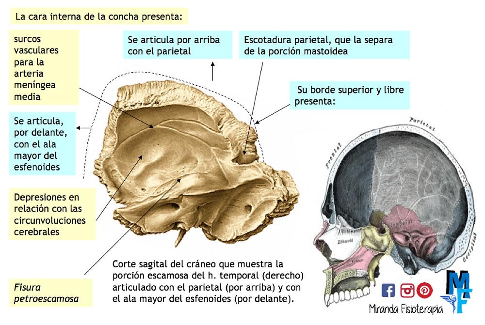 Huesos del cráneo: porción escamosa o concha