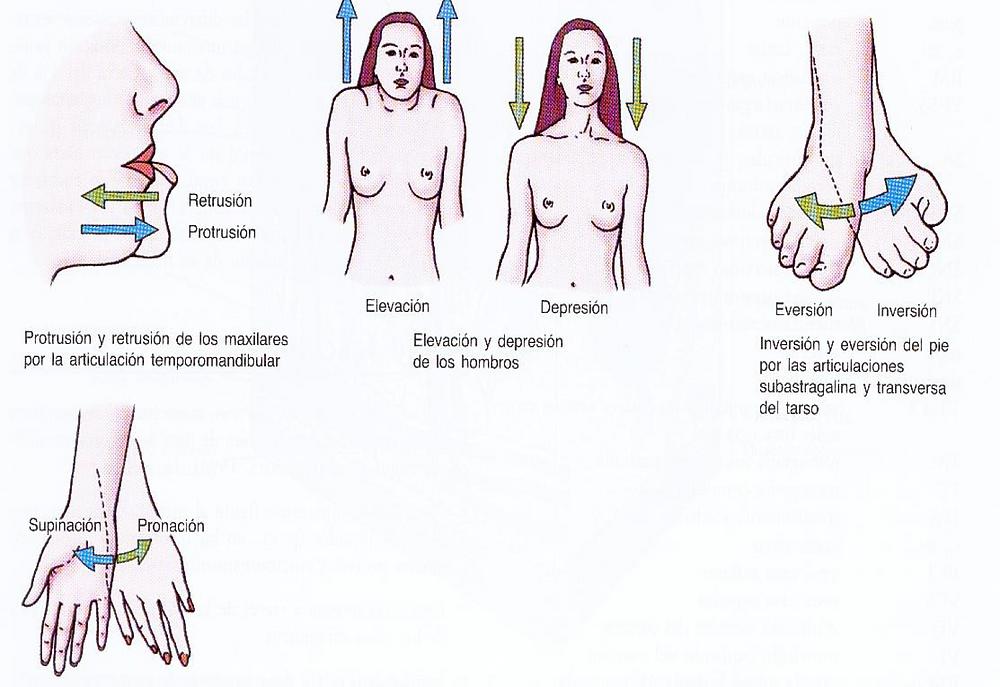 retrusión, protrusión, elecavión, descenso, eversión, inversión, pronación, supinación - terminología anatómica