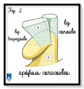 visión anterior de la apófisis coracoides aislada