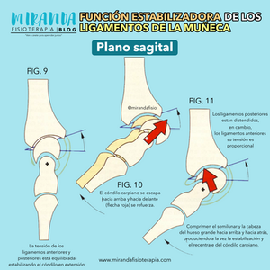 plano sagital, función estabilizadora de los ligamentos de la muñeca parte 2