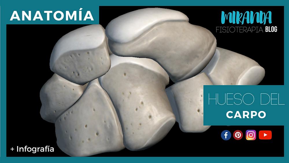 huesos del carpo: anatomía humana