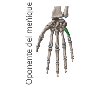 oponente del dedo meñique-  Músculos intrínsecos de la mano