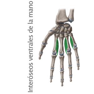 interóseos palamares de la mano- Músculos intrínsecos de la mano