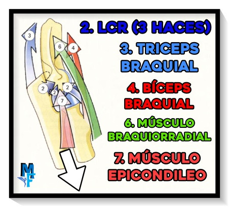 Músculos y ligamentos del codo - FACTORES DE COAPTACIÓN Y AMPLITUD DE MOVIMIENTO DEL CODO