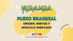 Origen, nervio y músculo inervado del plexo braquial