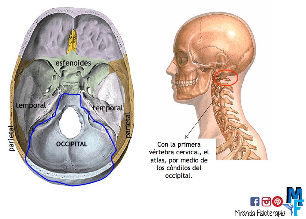 Huesos del cráneo: occipital relaciones