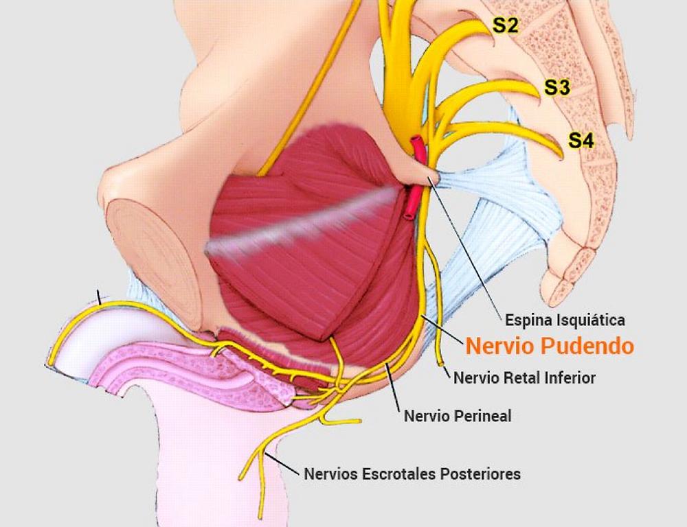 nervio pudendo